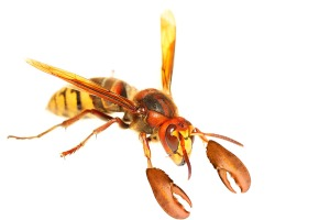 lobster wasp