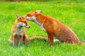 fox hunting atos